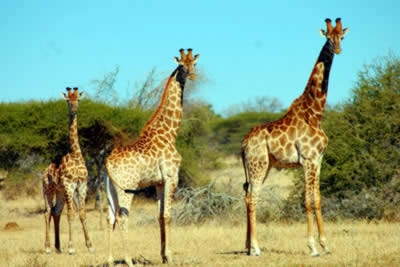 giraffes height order