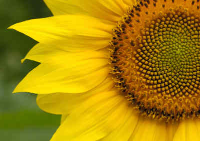 Picture Nature Beauty on In Spirals  Such As The Pattern Of Seeds In This Beautiful Sunflower